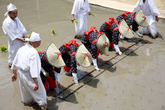 Japanese young girls plants in a rice paddy. KAGAWA, JAPAN, JUNE 4, 2017: Japanese young girls plants a plant of rice in a rice paddy. The holy festival to pray Stock Images