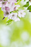 Japanesse sakura blossom Stock Images