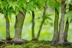 Japanische Ahornbäume als Bonsaiwald Stockfotografie