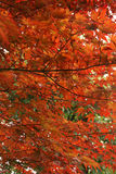 Japanische Ahornblätter Lizenzfreie Stockfotografie