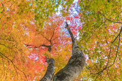 Japanische Ahornblätter, Stockbilder