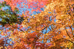Japanische Ahornblätter, Lizenzfreie Stockfotos