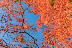 Japanische Ahornblätter, Lizenzfreies Stockbild