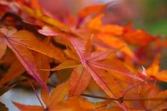 Japanische Ahornblätter auf einem moosigen Grünstreifen lizenzfreie stockfotos