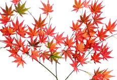 Japanische Ahornblätter des hellen roten Herbstes oder Acer-palmatum, lokalisiert über einem weißen Hintergrund Lizenzfreies Stockfoto