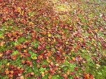 Japanische Ahornblätter im Herbst Stockfotos