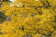 Japanische Ahornblätter im Herbst lizenzfreie stockfotografie