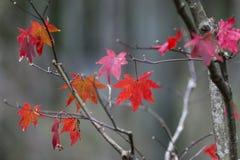 Japanische Ahornblätter im Herbst lizenzfreie stockbilder