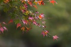 Japanische Ahornblätter im Herbst, Kyoto, Japan lizenzfreie stockfotografie