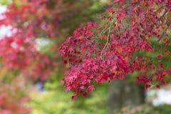 Japanische Ahornblätter im Herbst, Kyoto, Japan stockfoto