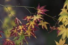 Japanische Ahornblätter im Herbst, Kyoto, Japan stockfotografie