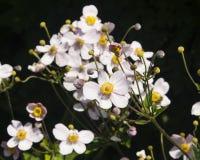 Japanische Anemone, Anemone hupehensis, Blumen an der Blumenbeetnahaufnahme, selektiver Fokus, flacher DOF Lizenzfreie Stockfotos
