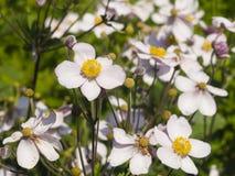 Japanische Anemone, Anemone hupehensis, Blumen an der Blumenbeetnahaufnahme, selektiver Fokus, flacher DOF Lizenzfreies Stockbild