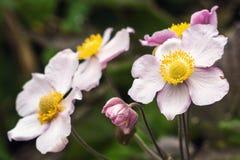 Japanische Anemone Anemone hupehensis Blume Rosa Gartenpflanze im Familie Ranunculaceae, in der alias chinesischen Anemone, im Th Stockbilder