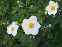 Japanische Anemone, Kulturvarietät von weißen Blumen, mit den Knospen Stockbilder