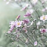 Japanische Anemone (Windflower) Stockfotografie