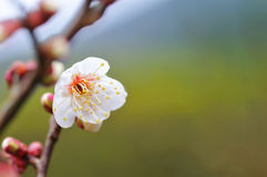 Japanische Aprikose Lizenzfreies Stockbild
