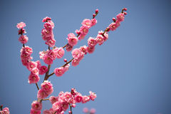 Japanische Aprikose Stockfotografie