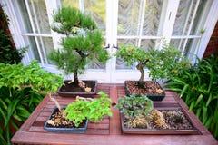 Japanische Bonsai-Miniatur-Bäume Lizenzfreie Stockfotos