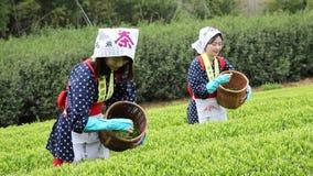 Japanische Frau, die Teeblätter erntet stock footage