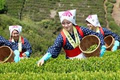 Japanische Frau, die Teeblätter erntet Lizenzfreie Stockfotografie