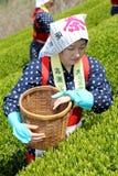 Japanische Frau, die Teeblätter erntet Stockfotos