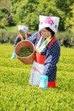 Japanische Frau, die Teeblätter erntet Stockfoto