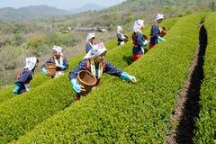 Japanische Frau, die Teeblätter erntet Lizenzfreies Stockbild