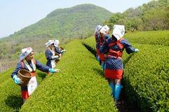 Japanische Frauen, die Teeblätter ernten Stockbilder