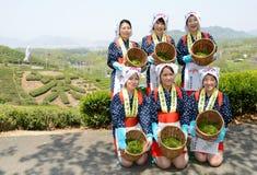 Japanische Frauen, die Teeblätter ernten Lizenzfreies Stockbild