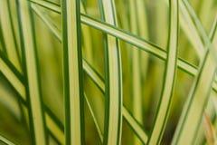 Japanische Grasanlage Carex Evergold Lizenzfreies Stockbild