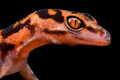 Japanische Höhlen-Gecko Goniurosaurus-orientalis lizenzfreie stockfotos