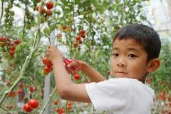 Japanische Jungensammeln-Kirschtomate Stockbild