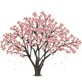 Japanische Kirschbaumblüte über Weiß Stockfoto