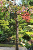 Japanische Kirschbaumblüte im schönen Frühlingsgarten Lizenzfreie Stockfotos