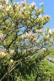 Japanische Kirschbaumblüte im schönen Frühlingsgarten Lizenzfreies Stockbild