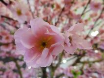 Japanische Kirschblüte Stockfoto