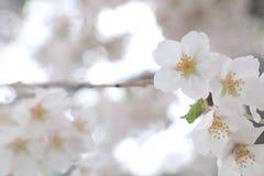 Japanische Kirschblüte auf Regen Stockfotos