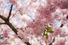 Japanische Kirschblüte an Bisbebjerg-Kirchhof lizenzfreies stockfoto