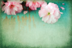 Japanische Kirschblüten Stockfoto