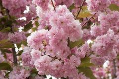 Japanische Kirschblüten Lizenzfreie Stockfotos