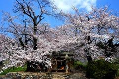Japanische Kirschblüten in voller Blüte Lizenzfreies Stockfoto