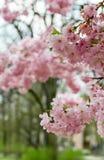 Japanische Kirsche Stockfotos