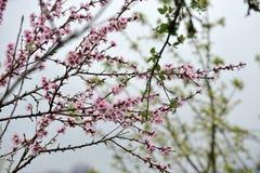 Japanische Kirsche, Baumastnahaufnahme Stockbild