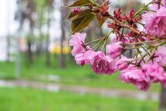 Japanische Kirsche, Kirschbl?te, Bl?tenblumenzweig auf Hintergrund des blauen Himmels Sch?ner Fr?hling empfindlich und Weichheits stockfotografie