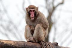 Japanische Macaquegrimassen mit seiner Zunge heraus Stockbild