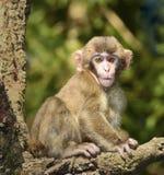 Japanische Macaques, Fallhammer Lizenzfreies Stockbild