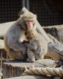 Japanische Makaken Stockfotografie
