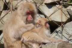 Japanische Makaken bemuttern das Suchen des Kindes nach Flöhen in Nagano, Japan Lizenzfreie Stockbilder