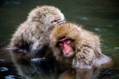Japanische Makaken, die in einem natürlichen Frühling sich pflegen Lizenzfreie Stockfotos